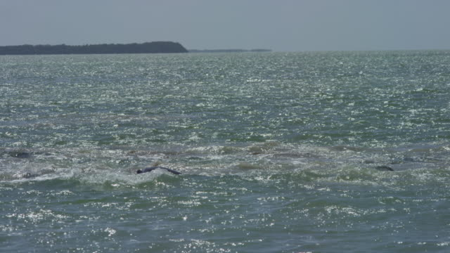 group of bottlenosed dolphins with mullet jumping over and one catches - meeräsche stock-videos und b-roll-filmmaterial