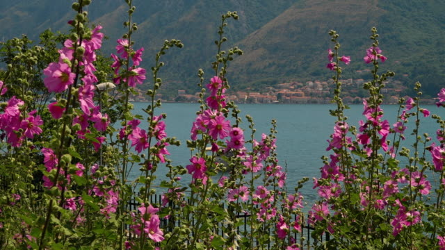 a group of bristly hollyhock pretty pink flowering plants - membrana video stock e b–roll