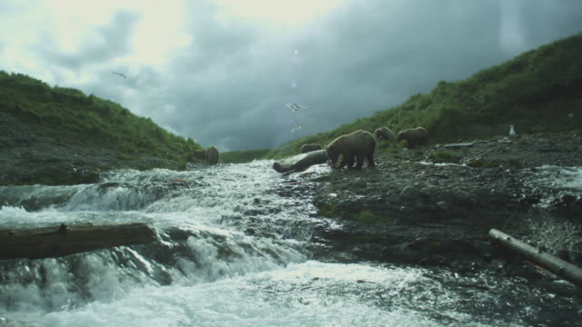 vídeos de stock, filmes e b-roll de group of brown bears eat salmon next to river, mcneil river game range, alaska, 2011 - onívoro