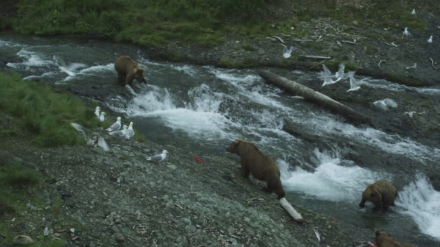 vídeos de stock, filmes e b-roll de group of brown bears hunt salmon in river, mcneil river game range, alaska, 2011 - onívoro