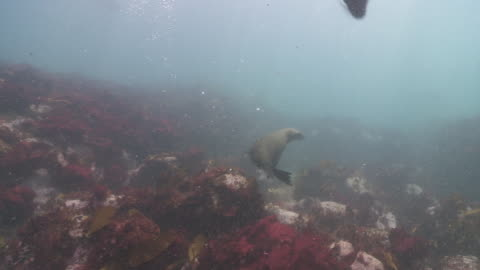 group of brown fur seals playing underwater - cape fur seal stock videos & royalty-free footage