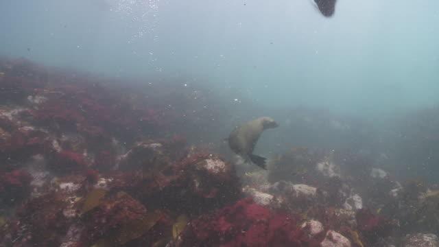group of brown fur seals playing underwater - ミナミオットセイ点の映像素材/bロール