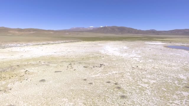 group of brown vicuñas run in the middle of the pampas near to the salar de uyuni, the largest salt flat in the world - ウユニ塩湖点の映像素材/bロール