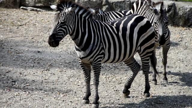 gruppe von burchell-steppenzebra - zebramuster stock-videos und b-roll-filmmaterial