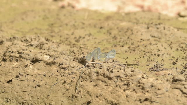 group of butterflies feeding on nutrients in drying mud - florida us state stock videos & royalty-free footage