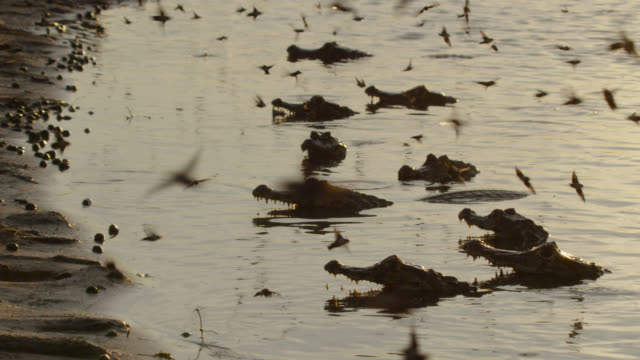 group of caiman (caiman yacare) predate hawk moths (aellopos species) as they drink from water's surface. - カイマン点の映像素材/bロール