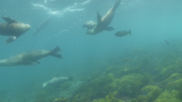 group of californian sea lions swimming with a school of fish - sea grass plant video stock e b–roll