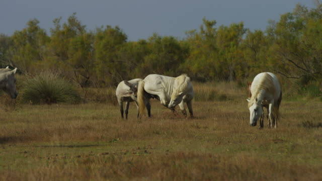 Group of Camargue horses on marsh with one scratching