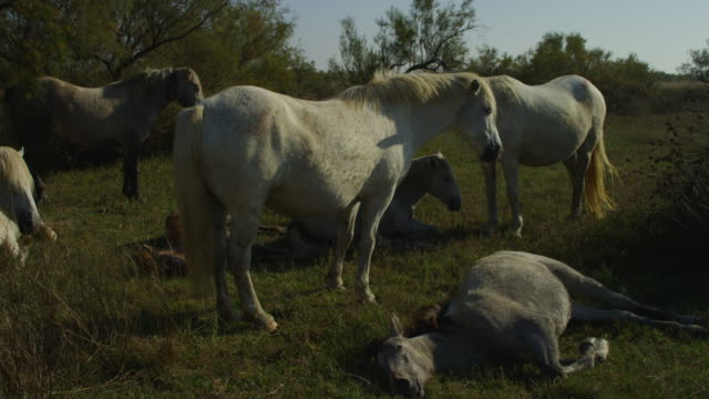 vidéos et rushes de group of camargue horses resting in evening light with foals lying on grass - droit