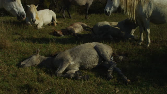 group of camargue horses resting in evening light with foals lying on gass - 子馬点の映像素材/bロール