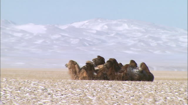 Group of camel sitting on snow