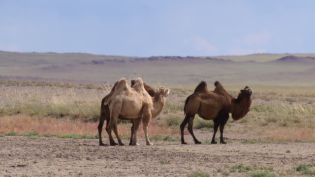 a group of camels in outer mongolia's gobi desert - 哺乳類点の映像素材/bロール