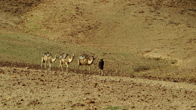 stockvideo's en b-roll-footage met group of camels led by a palestinian cameleer - palestijnse cultuur
