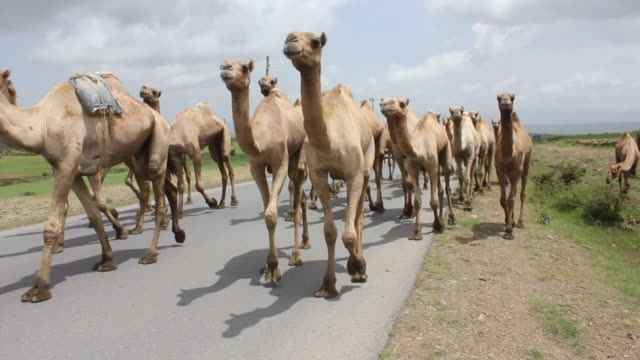 group of camels walking in the middle of road - hooved animal stock videos & royalty-free footage