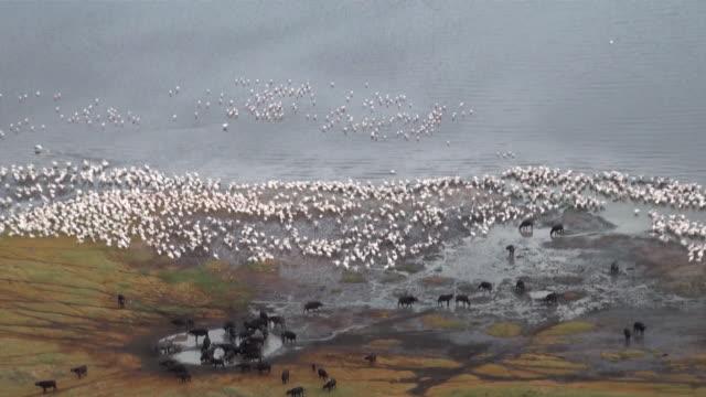 MS ZO Group of cape buffalos and pelicans In lake to wide view over lake nakuru national Park AUDIO / Nakuru, Rift Valley, Kenya