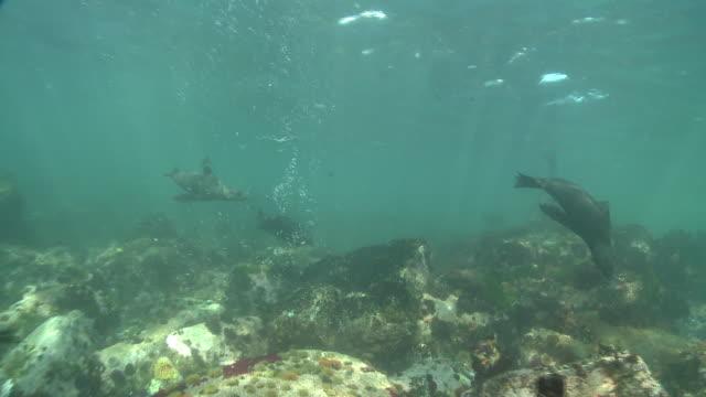 vídeos y material grabado en eventos de stock de a group of cape fur seals swim over reef. available in hd. - foca peluda del cabo