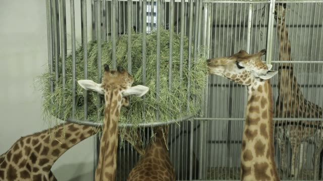 vídeos de stock e filmes b-roll de a group of captive giraffes foraging at the zoological park on september 29 2020 in paris france the french minister of ecology has announced new... - captive animals