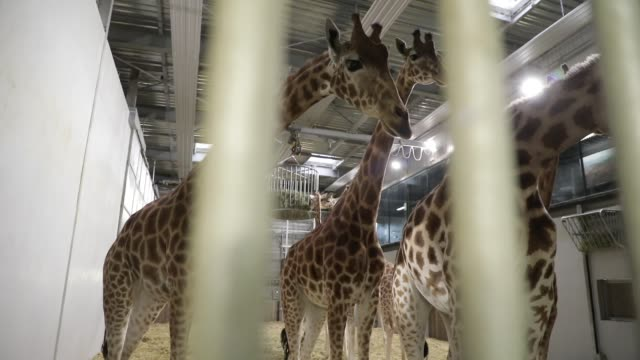group of captive giraffes in an enclosure at the zoological park on september 29, 2020 in paris, france. the french minister of ecology has announced... - medium group of animals stock-videos und b-roll-filmmaterial