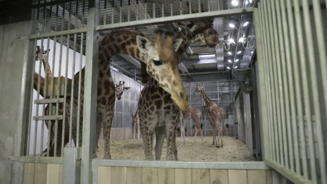 vídeos de stock e filmes b-roll de a group of captive giraffes in an enclosure at the zoological park on september 29 2020 in paris france the french minister of ecology has announced... - captive animals