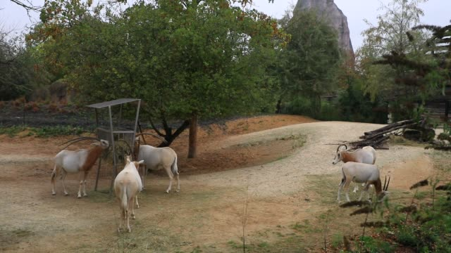 vídeos de stock e filmes b-roll de a group of captive oryxes pictured at the zoological park on september 29 2020 in paris france the french minister of ecology has announced new... - captive animals
