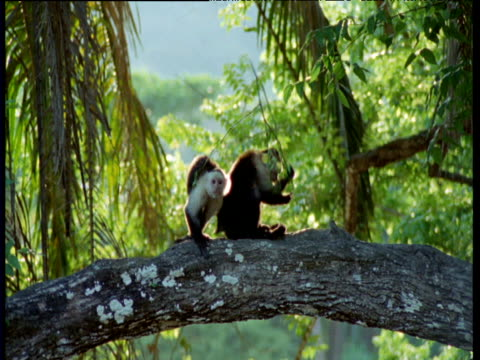 group of capuchin monkeys rub themselves ecstatically with medicinal and insecticidal piper leaves, trinidad - betrunken stock-videos und b-roll-filmmaterial