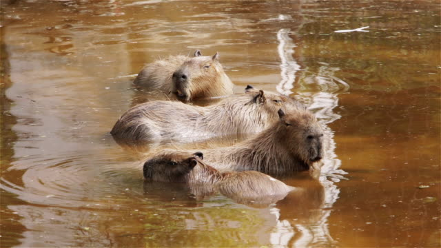 stockvideo's en b-roll-footage met ls a group of capybara in the water at buenos aires zoo / buenos aires, argentina - vier dieren
