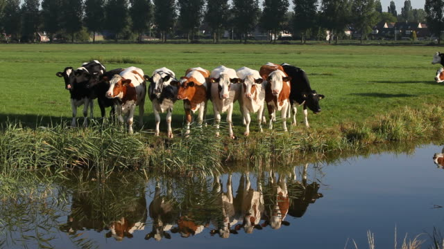 Group Of Cattle In Meadow By Canal Near Amsterdam,Netherlands