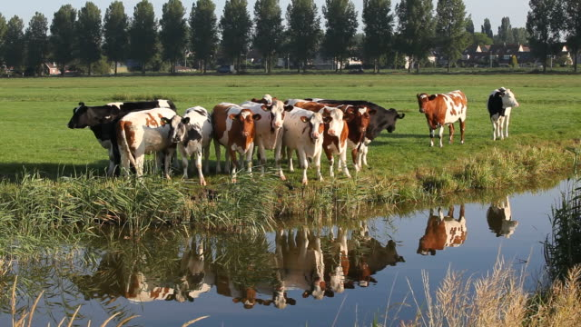 group of cattle in meadow by canal near amsterdam,netherlands - cow stock videos & royalty-free footage