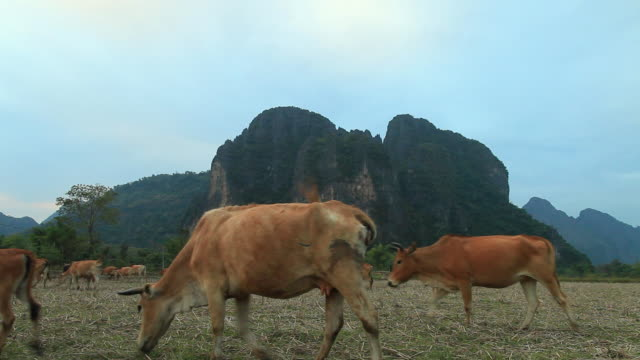 ws group of cattle with cow herder /  vang vieng, vientiane, laos  - herder stock videos & royalty-free footage