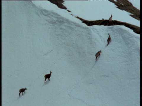 vídeos de stock, filmes e b-roll de group of chamois antelopes climb snowy alpine slope, switzerland - camurça