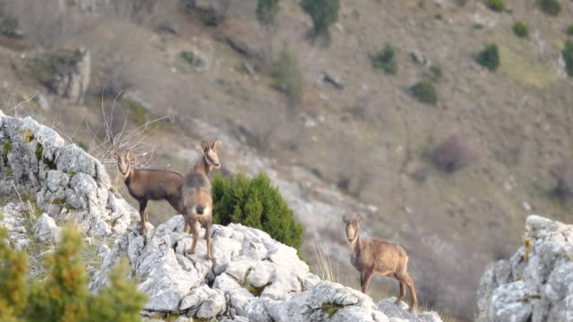 vidéos et rushes de group of chamois in the mountains looking at camera(rebecos) - bouquetin des alpes