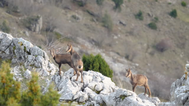 vidéos et rushes de group of chamois in the mountains (rebecos) - bouquetin des alpes