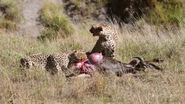 a group of cheetahs  feeds on  wildebeest , maasai mara, kenya, africa - animal attribute stock videos and b-roll footage