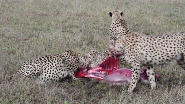 a group of cheetahs  feeds on  wildebeest , maasai mara, kenya, africa - feeding stock videos & royalty-free footage