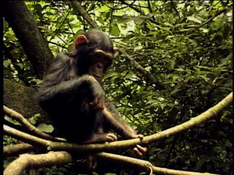MS, TD, PAN, Group of chimpanzees (Pan troglodytes) in forest, Gombe Stream National Park, Tanzania