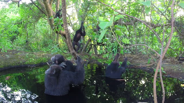 group of chimpanzees sitting in a pool and grooming - medium group of animals stock videos & royalty-free footage