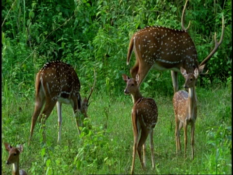 group of chital deer, axis axis, grazing in forest clearing, western ghats, india - cinque animali video stock e b–roll