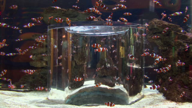 WS Group of Clownfish (Amphiprion ocellaris) swimming in aquarium / Capetown, South Africa