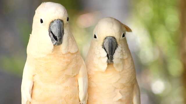 group of cockatoo white bird
