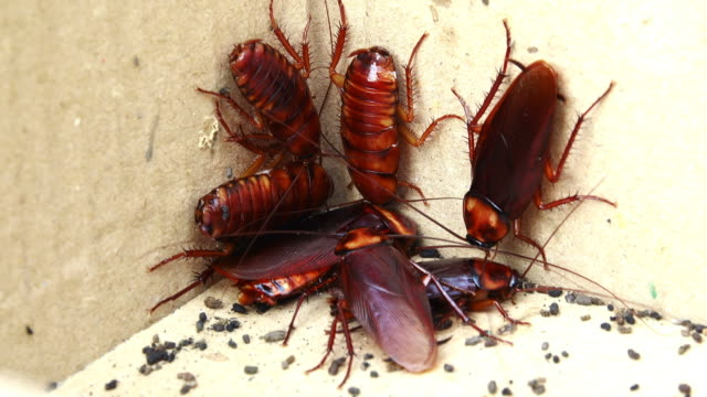 Group of cockroach in paper box