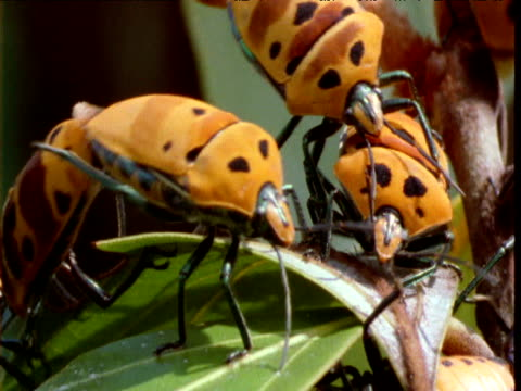 Group of colourful bugs mating on bush, Queensland