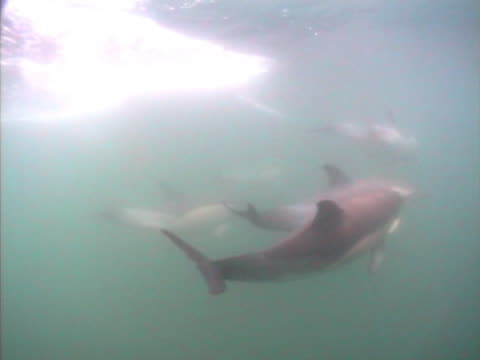 stockvideo's en b-roll-footage met group of common dolphins close up - rugvin