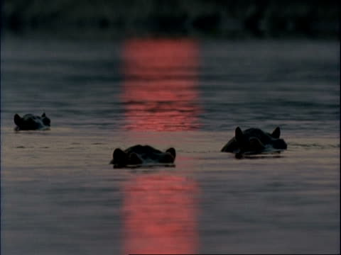 mcu group of common hippopotamus peering out of water, pink sunset reflecting in water, mana pools, zimbabwe - repubblica dello zimbabwe video stock e b–roll