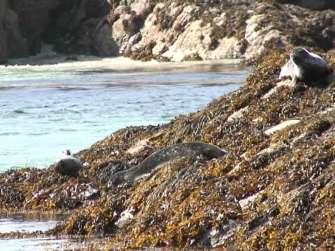 group of common seals including a pup on kelp covered rocks, seals spot camera and three enter the   - aquatisches lebewesen stock-videos und b-roll-filmmaterial