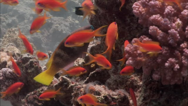 cu group of coral goldfish (pseudanthias squamipinnis) parrotfish at corals in red sea / sharm-el-sheikh, egypt  - parrotfish stock videos & royalty-free footage