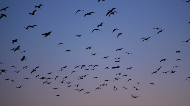 group of cormorants flying over the camargue in france - migrating stock videos & royalty-free footage