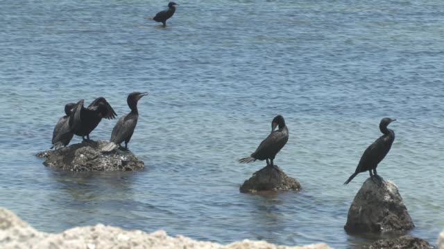 stockvideo's en b-roll-footage met group of cormorants - hd 30f - middelgrote groep dieren
