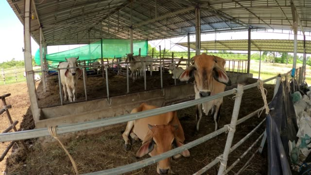 group of cows, cow stall - cattle stock videos & royalty-free footage