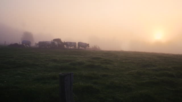 group of cows during a beatiful sunrise with fog. shot in slow-motion. - ベルギー点の映像素材/bロール