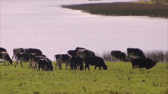 a group of cows grazing next to a river - kalb stock-videos und b-roll-filmmaterial